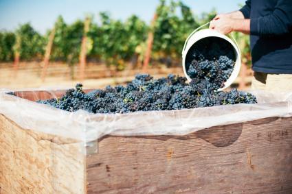 Cosecha de Pinot Noir