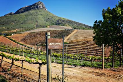 Uvas Chardonnay en una bodega en Franschhoek, Sudáfrica