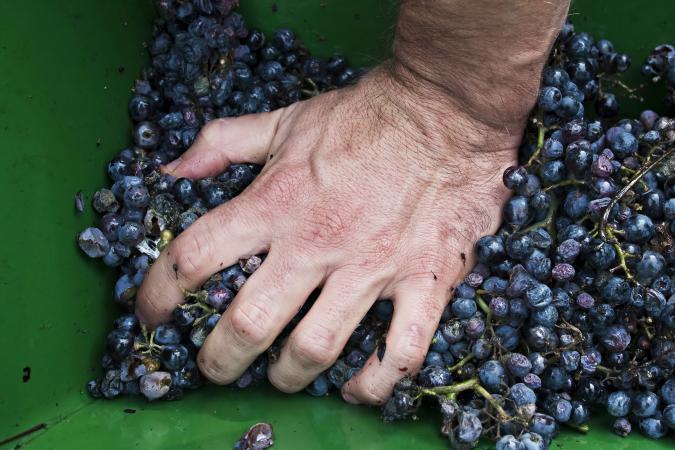 Hombre presionando las uvas a mano
