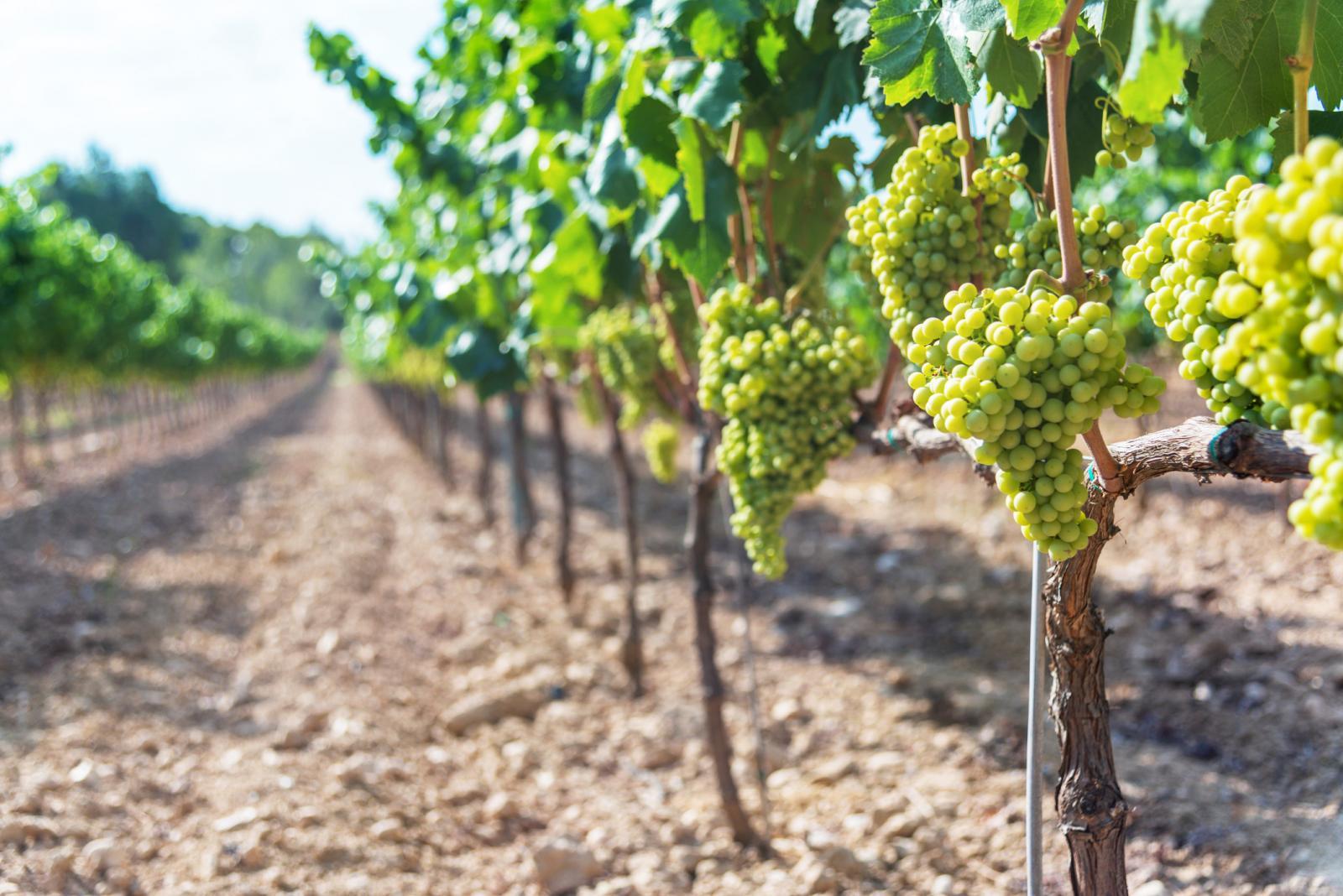 Uvas que crecen en viñedo