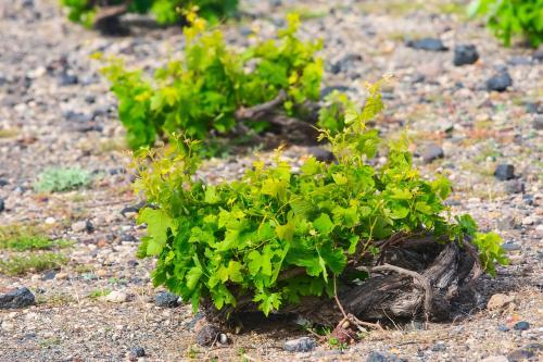 Vides de uva en espiral en Santorini