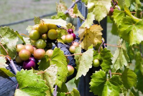 Uvas Muscadine de América del Norte