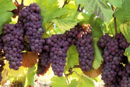 Uvas pinot gris maduras listas para la cosecha