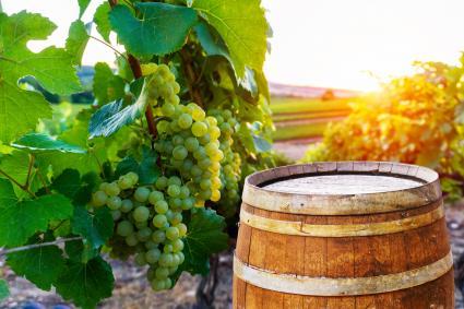 Viñedos con barril de madera vieja en fila vid uva verde