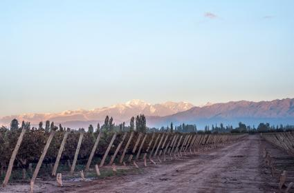 Temprano en la mañana en los viñedos.  Provincia argentina de mendoza