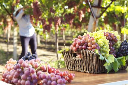 Diferentes uvas en un viñedo