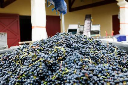 Uvas cosechadas de Burdeos.