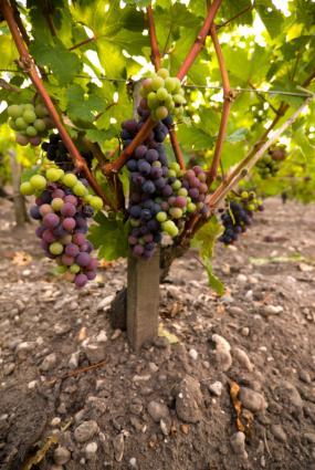 Vides de uva de vino tinto