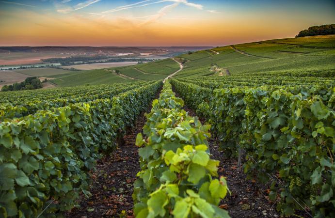 Viñedos en la región vinícola de Champagne en Francia