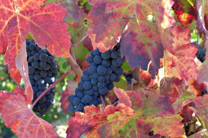 uvas de vino tinto en la vid en otoño
