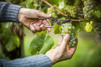 Recortando uvas de la vid
