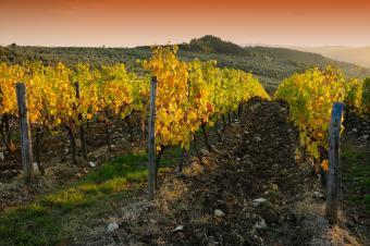 Viñedos en la región de Chianti al atardecer.  Toscana, Italia